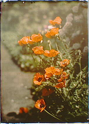 Genthe-Arnold_California-golden-poppies_ca1908_7a17748r
